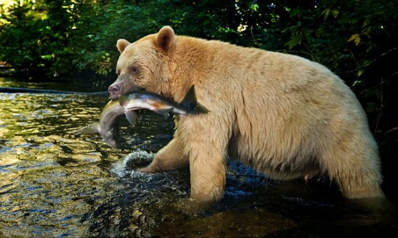 bear-canada-2