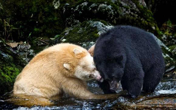 bear-canada-3